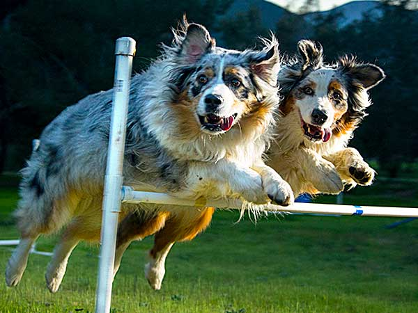 Australian Shepherd clearing agility bar jump.