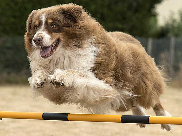 Australian Shepherd jumping over dog agility bar.