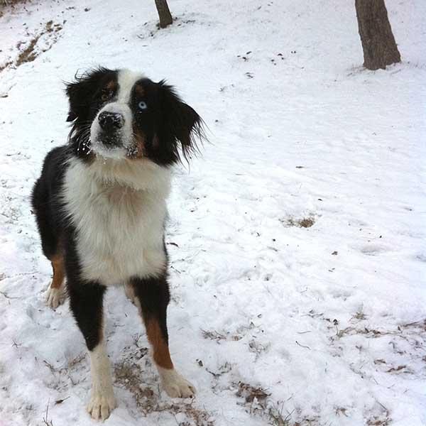 Dog Agility Training Classes Article photo of Australian Shepherd, Tex.