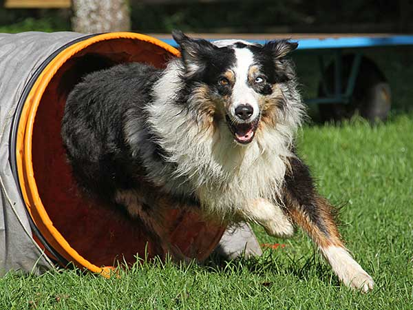 Australian Shepherd exiting dog agility tunnel.