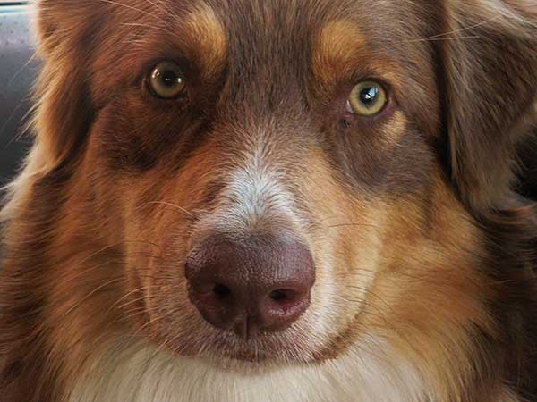 Photo for Dog Bite Injury Lawyer article featuring male red tri Australian Shepherd, Jackson.