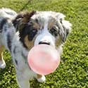 Australian Shepherd puppy blowing bubble gum.