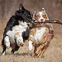 Australian Shepherds running with stick.