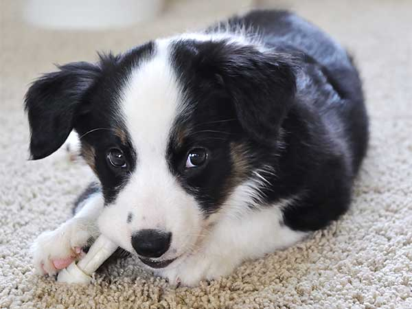 Australian Shepherd puppy chewing rawhide bone.