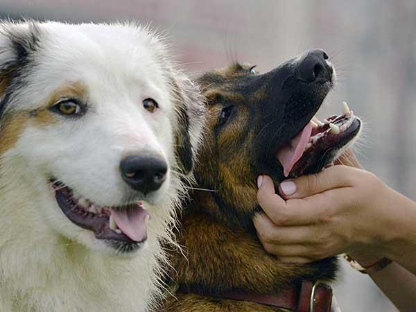 Australian Shepherd and German Shepherd getting attention.