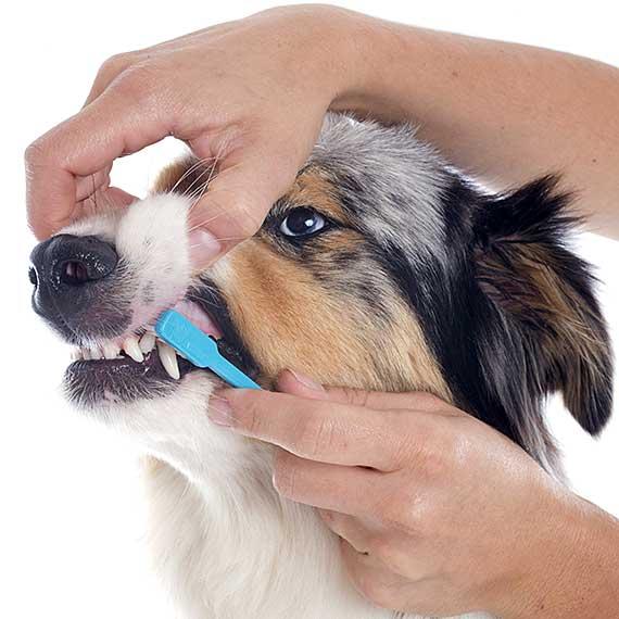 Australian Shepherd having his teeth brushed.
