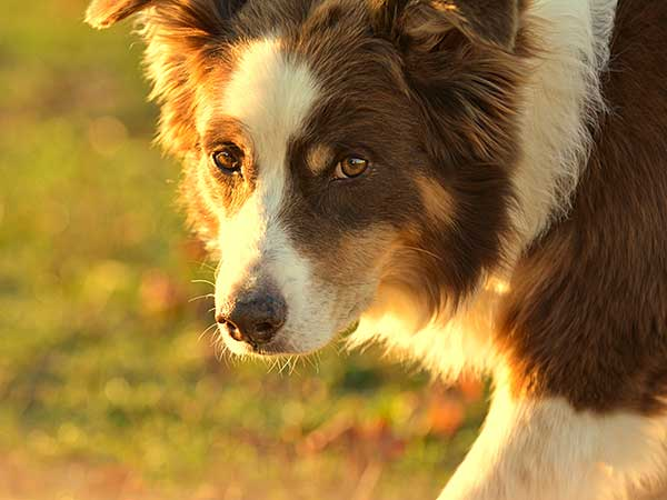 Australian Shepherd in evening light.