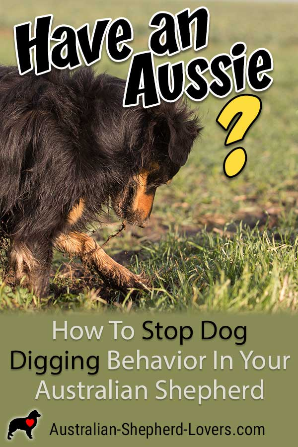 Stop your dog digging under your fence or holes in your yard. A digging dog is likely familiar to most Australian Shepherd owners. Regardless of the cause, there are steps you can take to prevent it. #australianshepherd #aussielovers #dogdigging #dogtraining