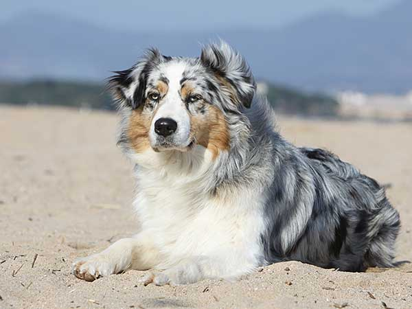 Australian Shepherd laying on sand.
