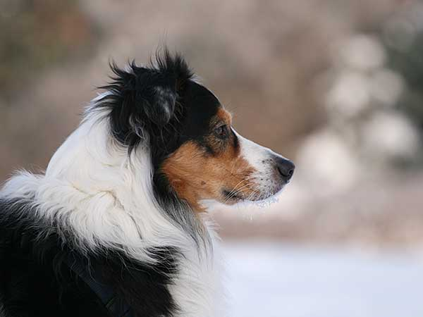Australian Shepherd profile in winter.