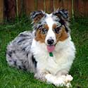 Blue merle Australian Shepherd laying on grass.