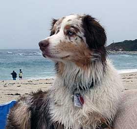 Australian Shepherd at the beach.