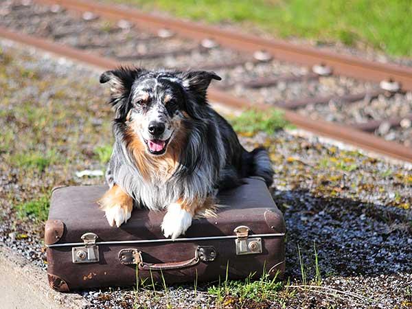 Homeless Australian Shepherd with suitcase by train tracks