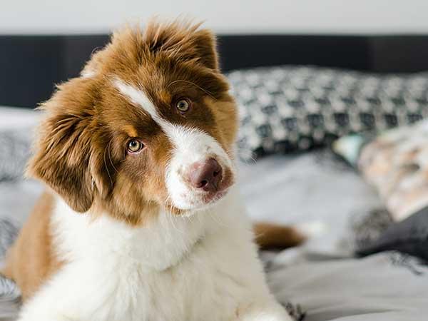 Australian Shepherd puppy sitting on bed.