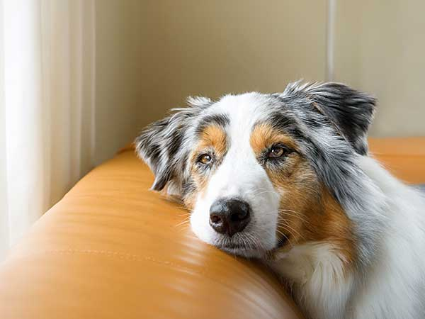 Australian Shepherd laying on couch looking bored.