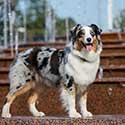 Blue merle Australian Shepherd standing by a fountain.