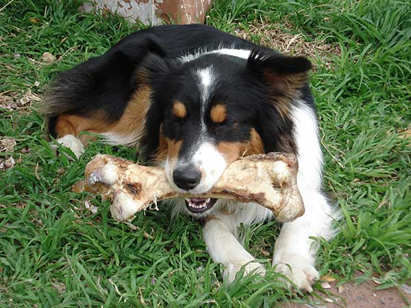 Australian Shepherd chewing an Ostrich leg bone.