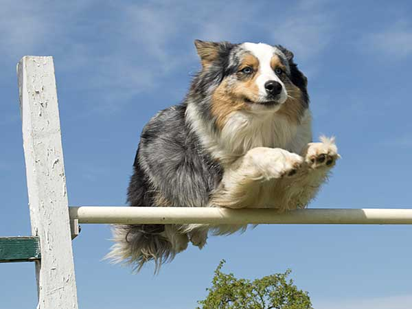Blue Merle Australian Shepherd jumping over agility bar with sky in background.