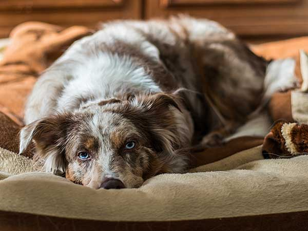 Australian Shepherd laying in bed.