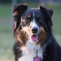Black tri Australian Shepherd at the park.