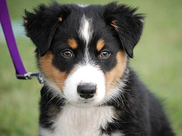 Dog leash training showing Australian Shepherd puppy.