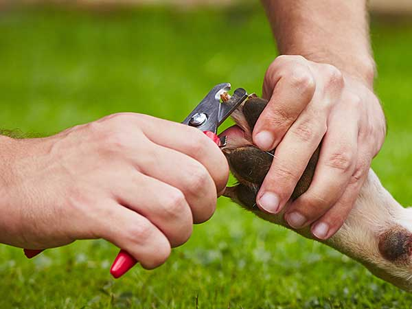 Close-up of man using scissor or plier style clippers to trim dog's nails.