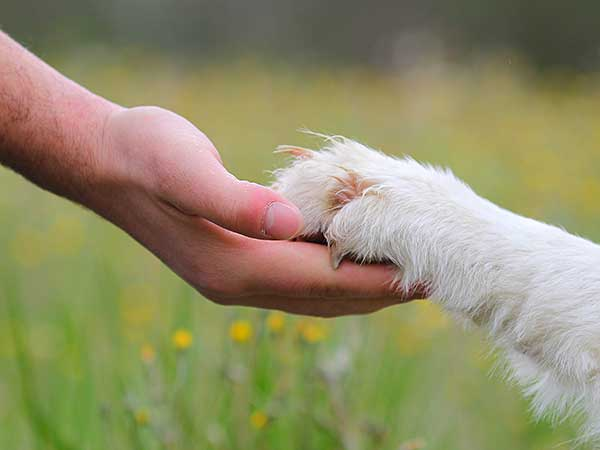 Person holding Australian Shepherd's paw.