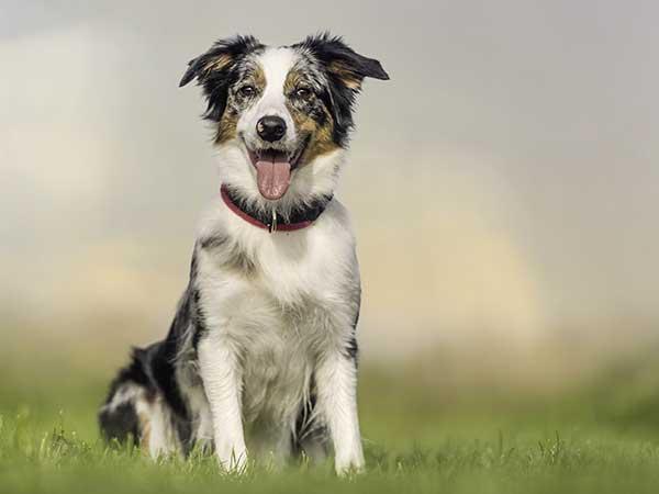 Guide to Dog Nutrition, Dog Food, and Dog Treats for Your Australian Shepherd - Photo: Blue merle Australian Shepherd sitting on grass.