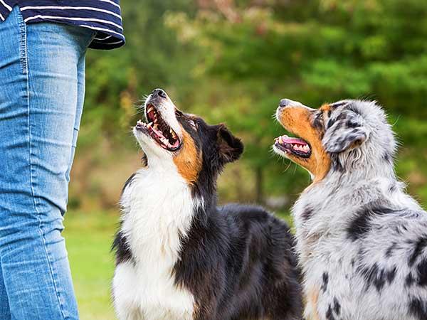 Two Australian Shepherds looking to their owner.