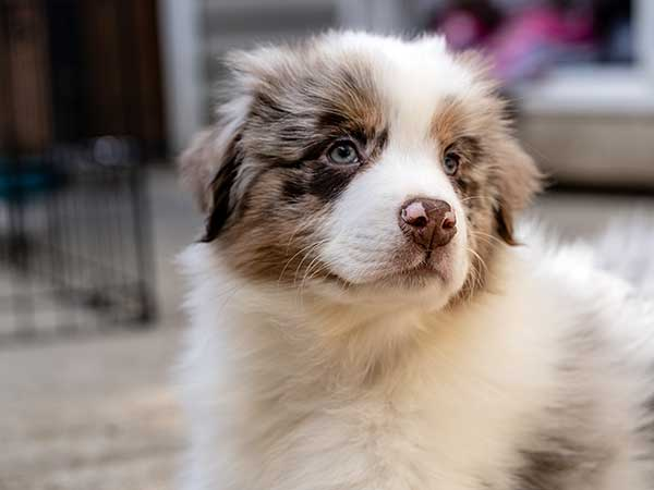 Australian Shepherd puppy sitting indoors.