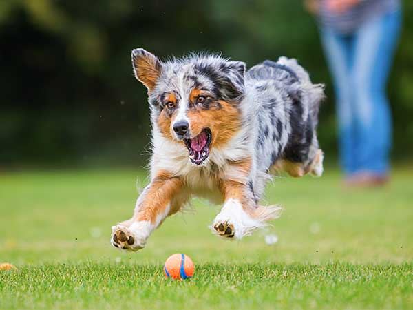 Australian Shepherd chasing a ball.