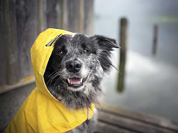A Dog Rain Jacket Can Help Keep Your Australian Shepherd Dry And Happy - Photo: Australian Shepherd wearing red jacket.