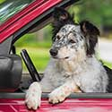 Australian Shepherd, Border Collie mix in driver's seat of car.
