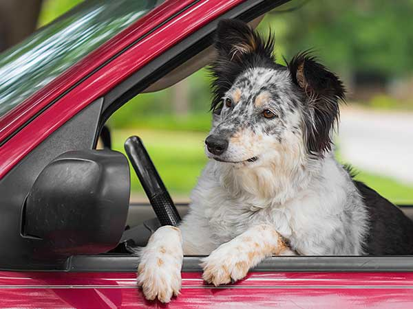 Photo for Dog Seat Belt Harness Article featuring Australian Shepherd, Border Collie mix in driver's seat of car.