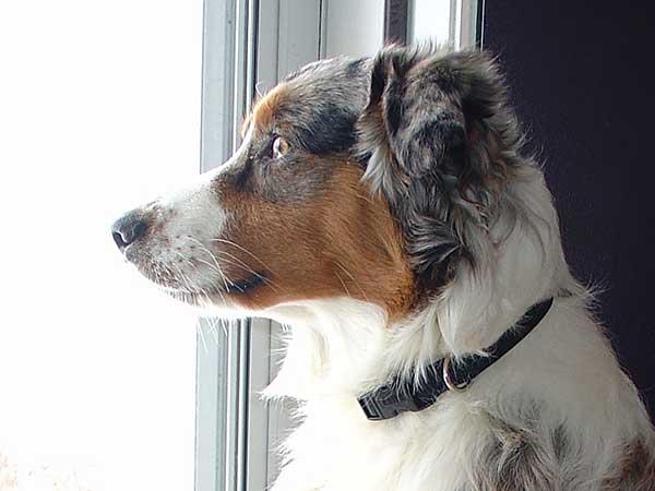 Australian Shepherd looking out of window.