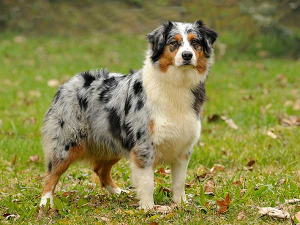 Blue merle Australian Shepherd standing on grass field.