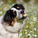 Australian Shepherd in field of daisies.