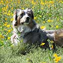 Australian Shepherd laying in field with yellow flowers.
