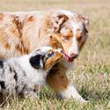 Adult red merle Australian Shepherd with blue merle puppy.