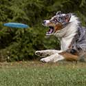 Australian Shepherd jumping for flying disc.