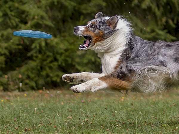 Australian Shepherd jumping for flying disc.