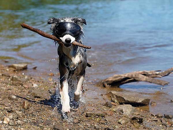 Thinking of Getting Dog Sunglasses For Your Australian Shepherd? - Photo: Australian Shepherd walking along shore carrying a stick and wearing Rex Specs dog goggles.