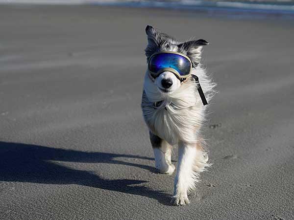 Thinking of Getting Dog Sunglasses For Your Australian Shepherd? - Photo: Australian Shepherd walking across beach wearing Rex Specs dog sunglasses.