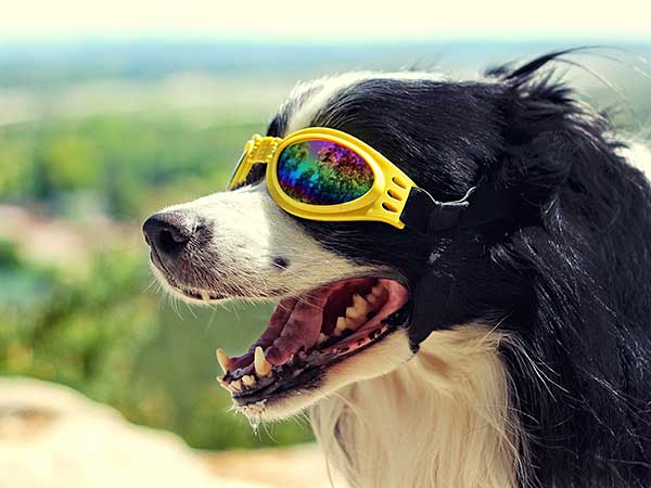 Thinking of Getting Dog Sunglasses For Your Australian Shepherd? - Photo: Black and white dog on a hill wearing yellow dog sunglasses.