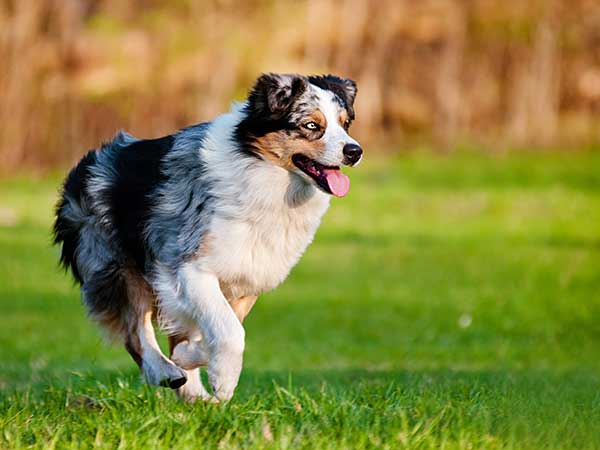 Australian Shepherd running on grass.