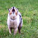 Blue merle Australian Shepherd standing on grass barking.