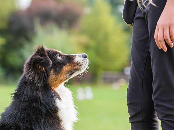 Australian Shepherd training at a park.