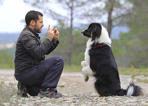 Man using dog obedience commands training an Australian Shepherd