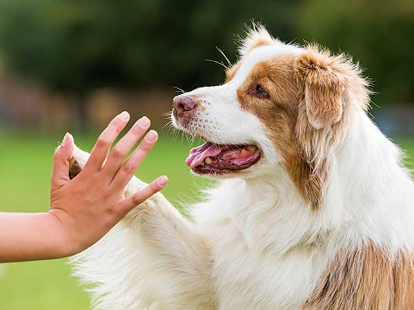 Red merle Australian Shepherd gives high five.