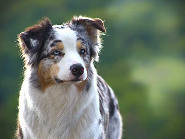 Four Key Dog Training Tips to Help You Lead Your Aussie